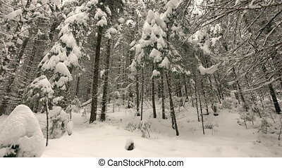 Snow-Covered Branches of Trees in the Winter Forest