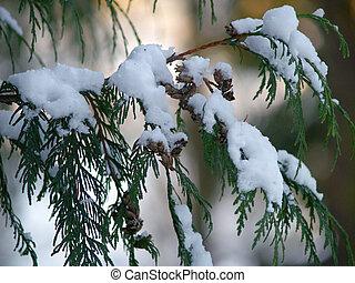 a Cedar branch covered in snow