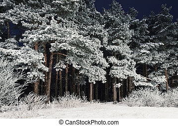 Snow-covered Coniferous Trees In The Forest At Night
