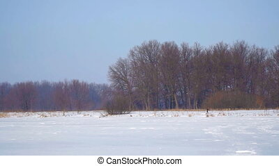 Snow-covered field, forest and a blue sky