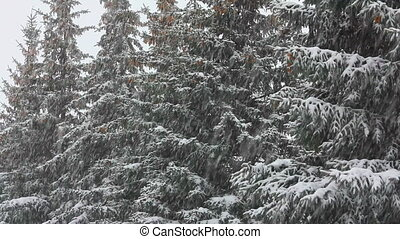 snow-covered fir and snow