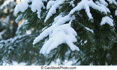 Snow-covered fir branch in closeup