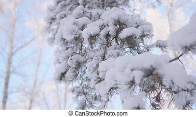 snow-covered fir branch in winter Park on a blue sky background