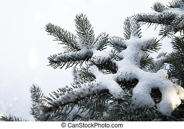 snow covered fir branches on a white background