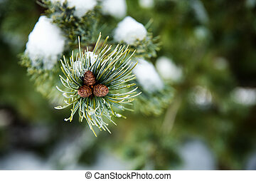 Snow covered fir cones on the tip of a branch.