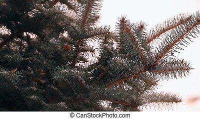 Snow-covered fir tree in winter closeup