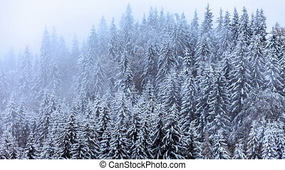 Snow covered fir trees in mountains with snowfall