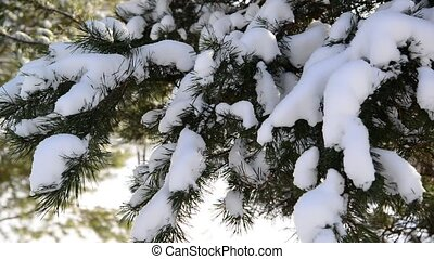 Snow-covered fir trees in winter forest