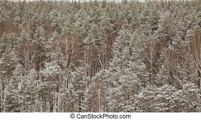Snow-covered forest in winter