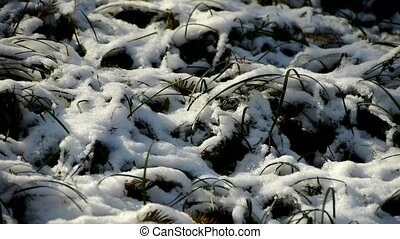 Snow covered grass, swaying in wind.