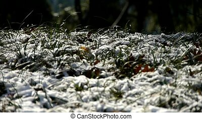Snow covered grass,swaying in wind