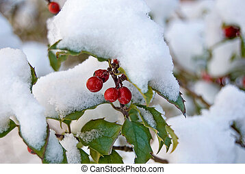 Snow Covered Holly - Holly berries covered in snow.