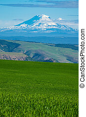 Snow-covered Mount Adams rising above Oregon wheat fields - ...