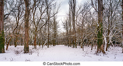 snow covered path among the leafless trees. lovely nature...