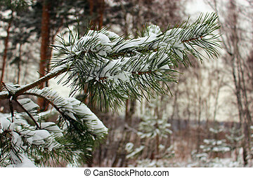Snow-covered pine branch