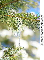 Snow-covered Pine Branch with Icicle on Clear Blue Sky Background at Sunny Warm Spring Day