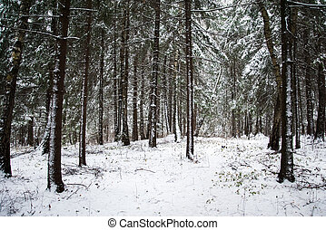 Snow-covered pine forest