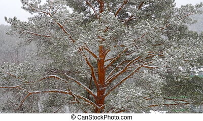 Snow covered pine tree at snow shower