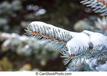 Snow Covered Pine Tree Branches Close Up