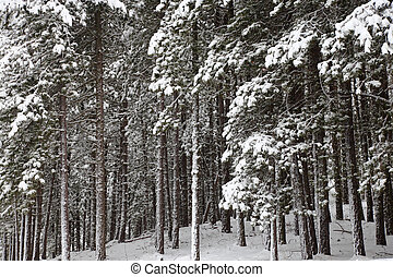 Snow covered pine tree forest