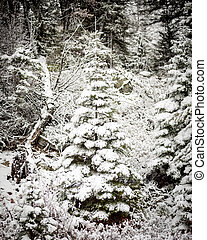 Snow covered pine tree in an Idaho forest