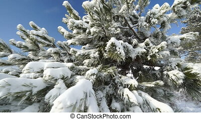 Snow covered pine tree in winter forest gimbal steadicam movement