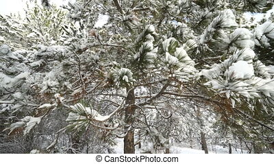 Snow covered pine tree in winter forest