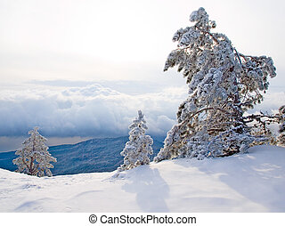 Snow-covered pine trees on the mountain.