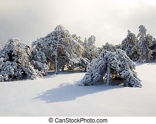 Snow-covered pine trees.