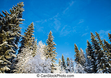 snow-covered pines and birches with blue sky in the background