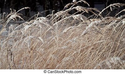 snow covered plants - stalks grass and plants covered with...