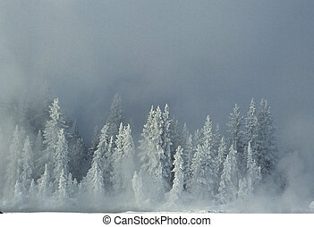 a frigid scene of snow covered spruce trees in fog