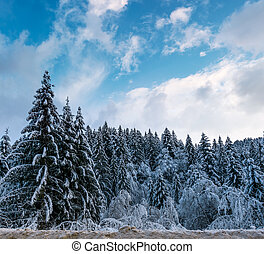 snow covered spruce forest in winter. amazing nature scenery...