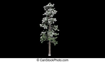 Snow covered tall coniferous tree on a black background