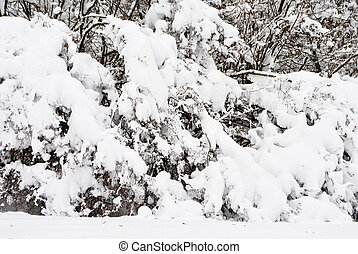 snow covered - the snow-covered view of the larch forest