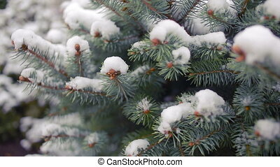 Snow-covered tree branch. pine or spruce. winter