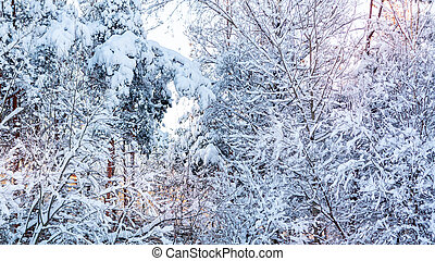 Snow-covered tree branches in the winter forest against the blue sky in the sunset light
