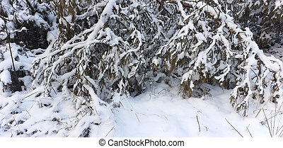 snow-covered tree branches in the winter forest
