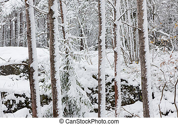 Snow covered tree trunks in forest