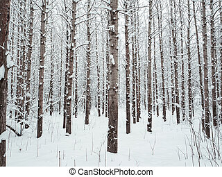Snow-covered tree trunks in the forest.
