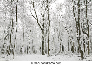 Snow covered tree trunks - Snow scene showing hundreds beech...