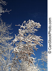 Snow covered trees in Northern Ontario