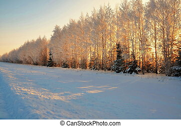 Snow-covered trees in the light of the sun
