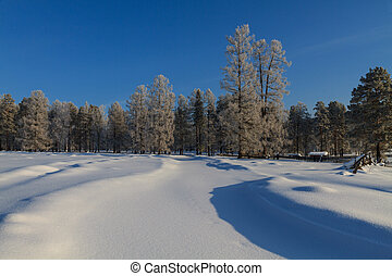 Snow-covered trees in the sun