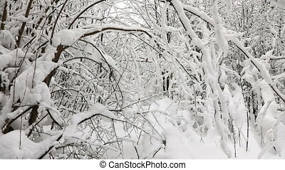 Snow covered trees in the winter forest - Wild winter forest...