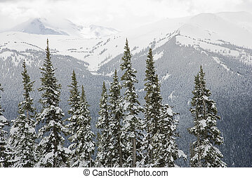 Snow covered trees. - Snow covered trees in Whistler,...