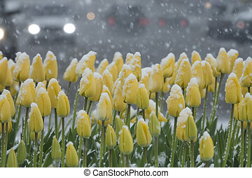 snow-covered tulips in the city against the background of...