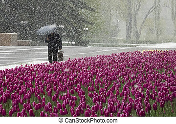 snow-covered tulips in the city