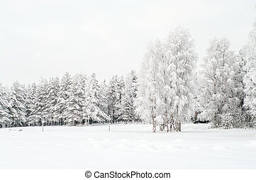 Snow covered white birches and evergreen pines in winter...