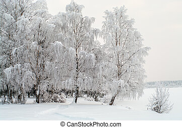 Snow covered white birches on lake shore in winter season